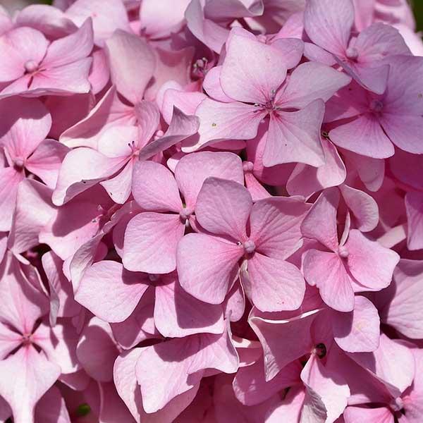 Foto de hortensia rosa